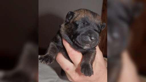 Ich verkaufe - Belgischer Schäferhund (015)