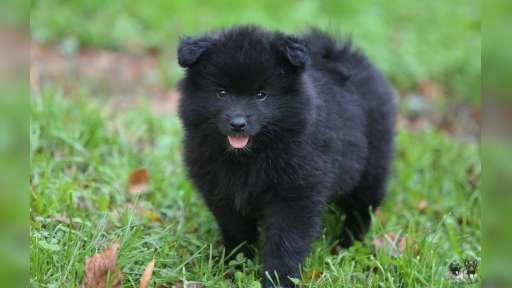 Grossspitz schwarz welpen mit papieren FCI - puppies for sale - Deutscher Spitz (097)