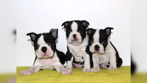 Boston terrier - Boston Terrier (140)