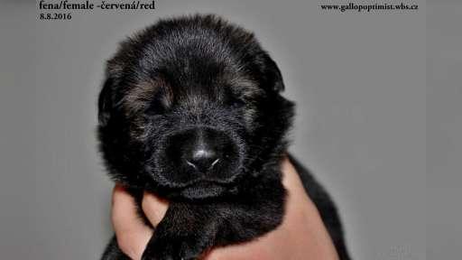 Winnei z Berounske bašty x Aggi Wind Wild - German Shepherd Dog (166)